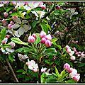 Fleurs de Pommier 1804156