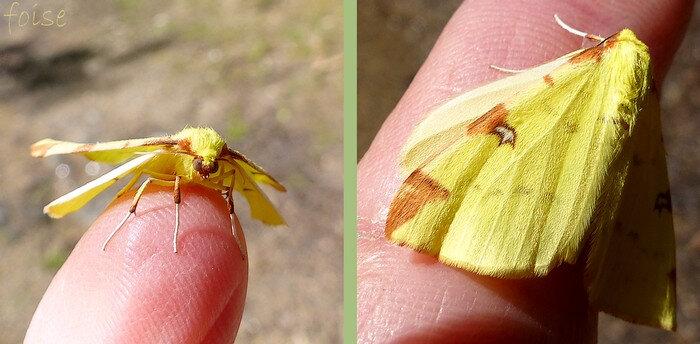 corps et ailes jjaune citron dessins couleur rouille
