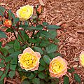 Un mini rosier