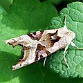 La Méticuleuse (Phlogophora meticulosa)