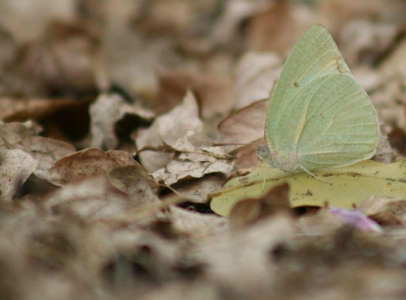 Catopsilia sp. 01