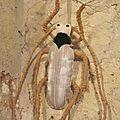 COUTURE DECO : Insecte - Le GRAND CAPRICORNE (Cabinet de curiosi