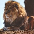 lionVcc1rtu7hvo1_1280