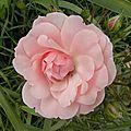 fleurs-roses-2 (23)