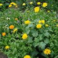 2008 08 19 Mon mélange de fleurs qui attire les abeilles