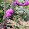 L'arbre de Judée, merci émminent Thiérry