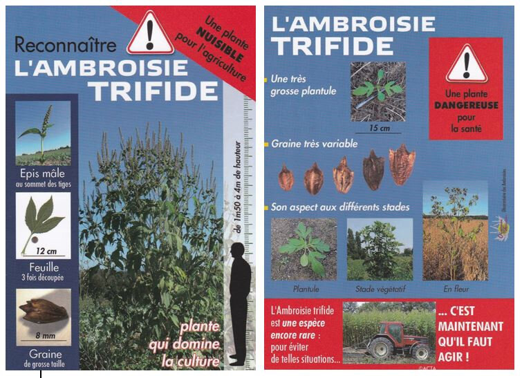 Ambroisie 3