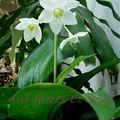 Eucharis
