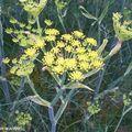 Fœniculum dulce DC. Mil. • Fenouil doux • F/ Apiaceae