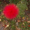 Fleur de Martinique