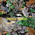 Mycena inclinata