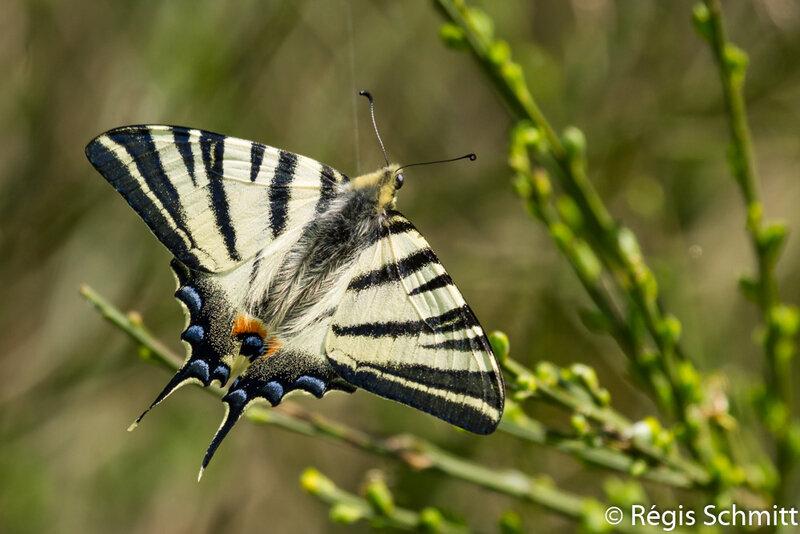 Iphiclides podalirius_Papilionidae 2018 04 18a3