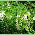 Fleurs d'Acacia 0605157
