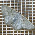 Phaiogramma stibolepida