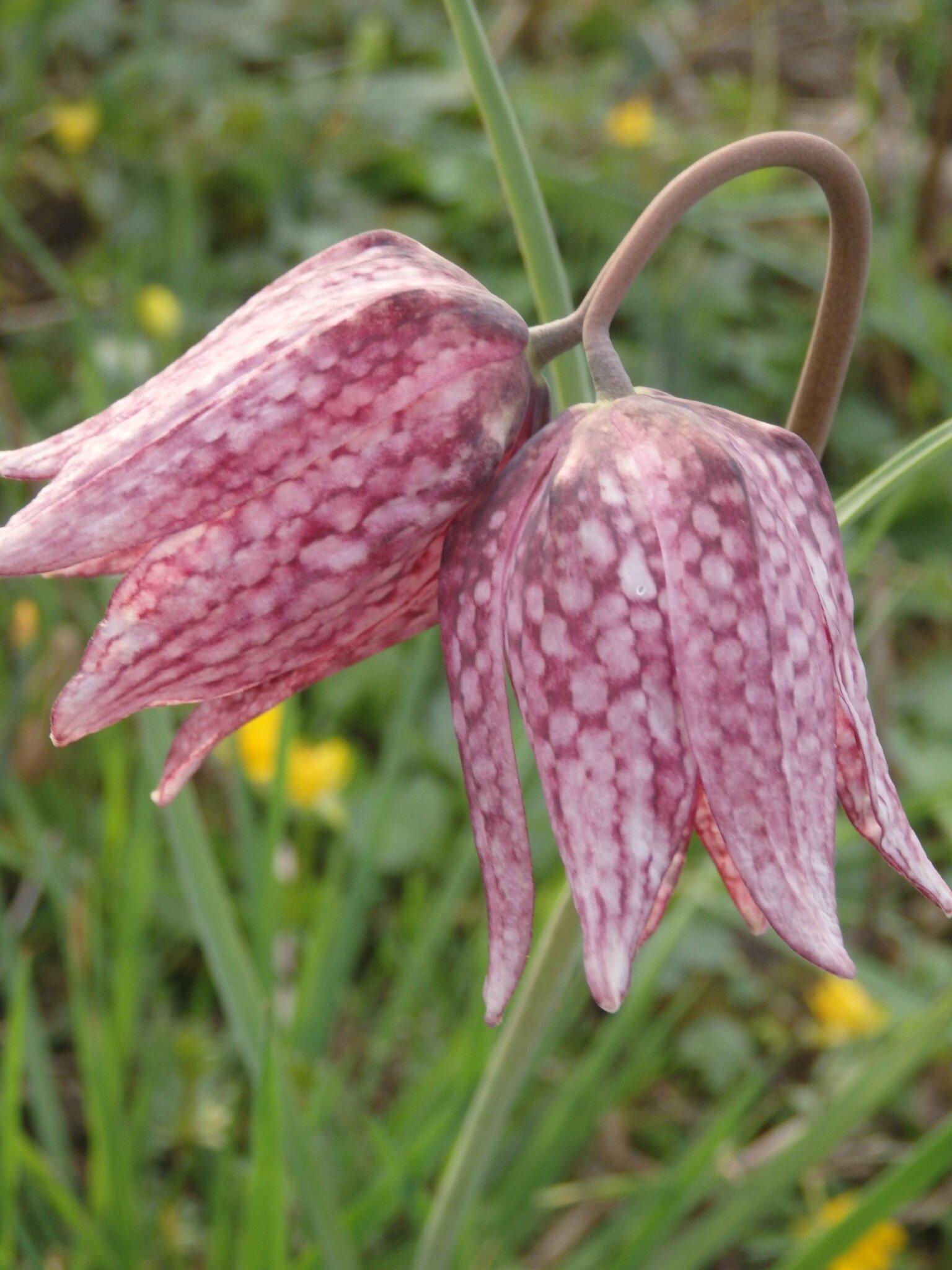 La fritillaire pintade (Fritillaria meleagris).