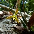 Encyclia chloroleuca var. rubescens