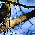 Grimpereau des bois, Certhia familiaris