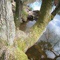 le vieux chêne et son reflet, dans le Miroir aux Fées