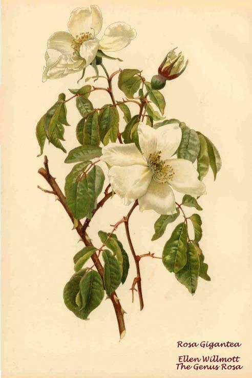 The Genus Rosa - Ellen Willmott