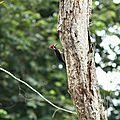 Campephilus melanoleucos - Pic de Malherbe mâle