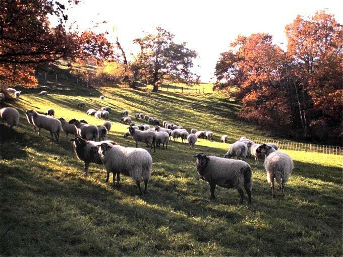 moutons à Saint-Saturnin