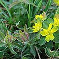 Euphorbia polychroma 'purpurea'