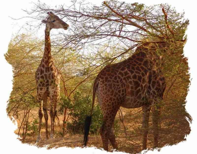 Seckasysteme-SenegalBandia-Girafes_rs