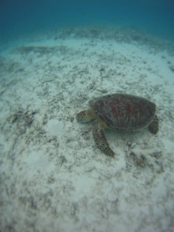 sea turtle_gopro_2