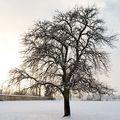 L'arbre enneigé au couchant