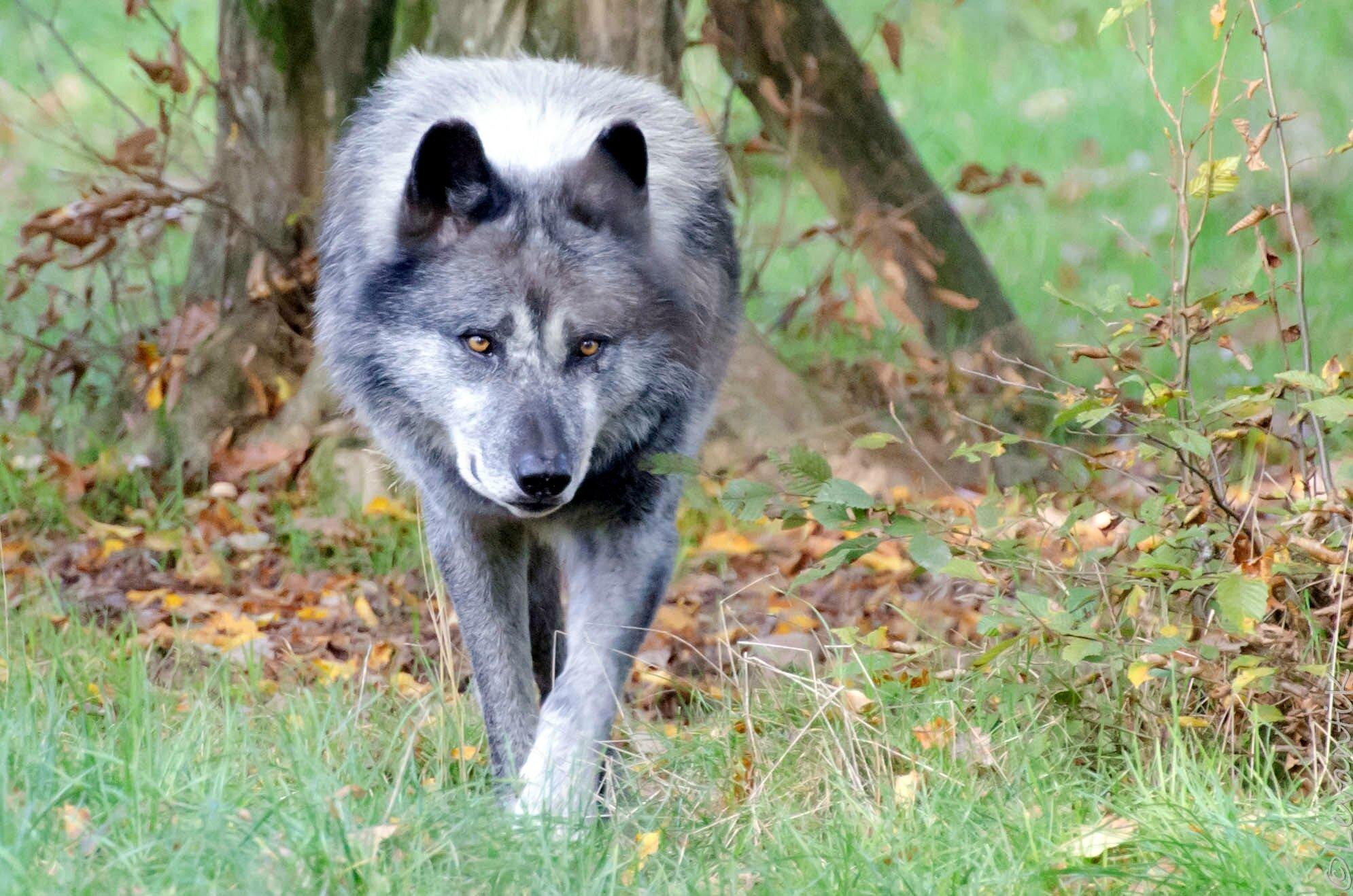 Loup Noir de l'Ouest canadien - Canis lupus occidentalis (3)