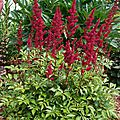 Astilbe rouge fuschia