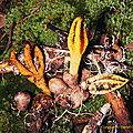Pseudocolus_schellenbergiae_CR01