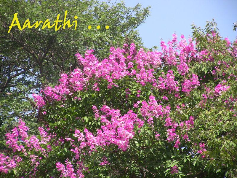Jarul trees in full bloom (pink)