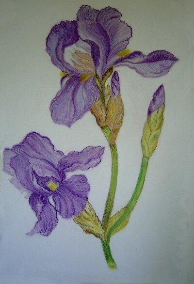 Iris (pastel)
