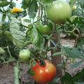 2008 07 05 Les premières tomates big stricke hybride F1 sous serre
