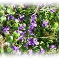 Violettes mars 09