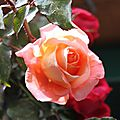 La dernière rose de l'année ?...