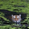 Swimming tiger by henrik vind