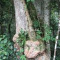 forêt de tijuca_arbre brazil_656