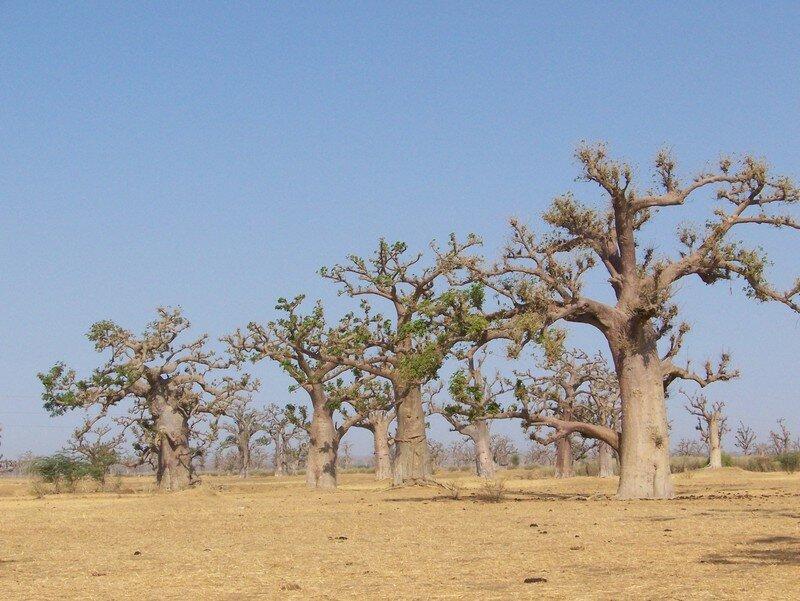 Champs de baobab