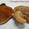 Gloeophyllum saeparium