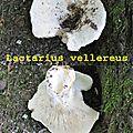 Lactarius vellereus