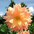 Dahlias17-blog