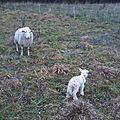De nouveaux agneaux
