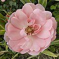 fleurs-roses-3 (1)