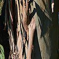 Ecorce d'un Eucalyptus globulus